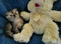 Шотландские котята для Вас и ваших любимых
