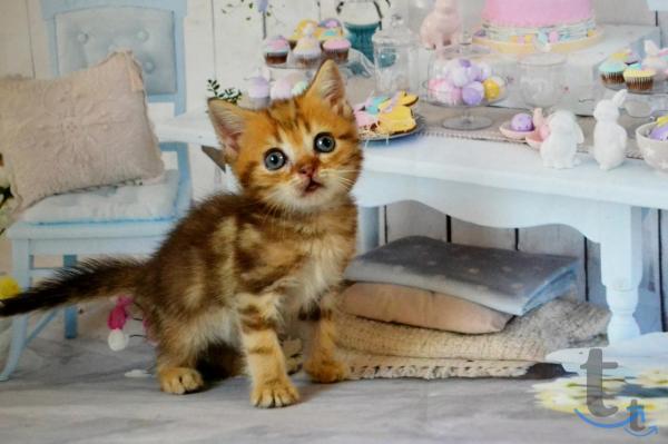 Золотые мраморные шотландские котята.