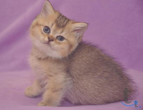 Британские котята редких окрасов в Армавире
