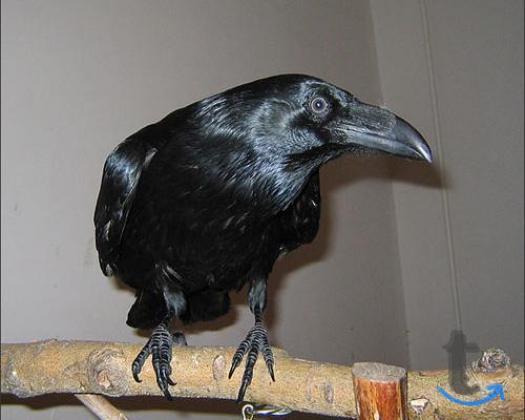 Ворон черный - птенцы выкор... в городеМосква