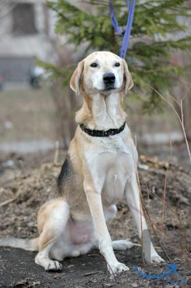Невероятный красавец-пёс, метис гончей в дар