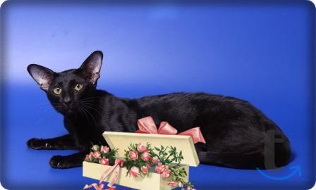 Вязка шикарным ориентальным котом