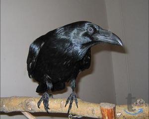 Ворон черный - птенцы выкормыши в городе Москва