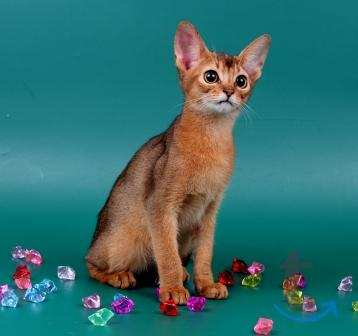 Абиссинские котики
