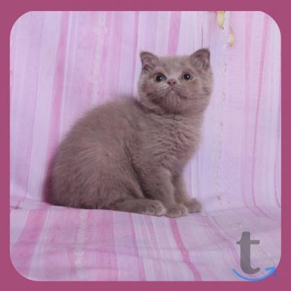 Шотландские котики и кошечки, голубые и лиловые