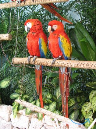 Ара макао или красный ара (... в городеМосква
