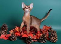 Абиссинские котята дикого о...