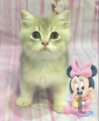 Золотые британские котята кш в городеЖуковский