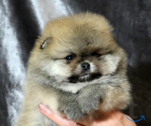 Померанский шпиц щенки в городеСанкт-Петербург