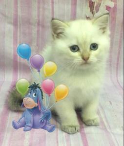 шотландские поинтовые котята в городеЖуковский