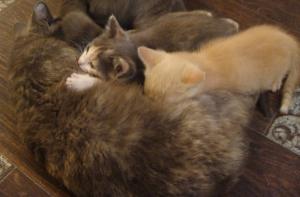 Котята: котик кремовый след... в городеТюмень
