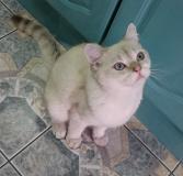 Британский голубоглазый котик.