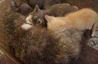 Котята: котик кремовый следопыт и киска сбоку бантик