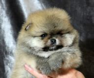 Померанский шпиц щенки
