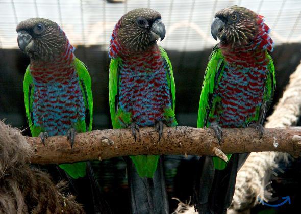 Объявление: Веерный попугай - Москва