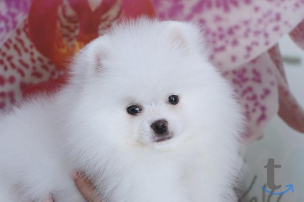 Белые щенки померанского шпица о...
