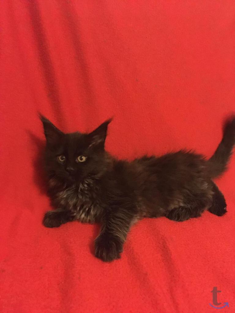 Шикарный котенок  Мейн Кун