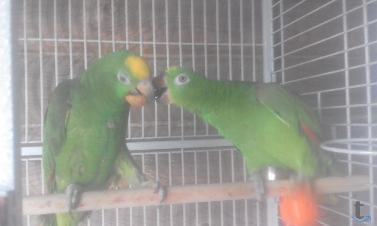 Амазоны птенцы говорящие выкормы...