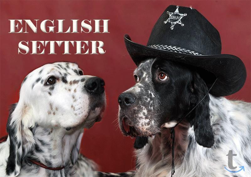 Сеттер английский щенки