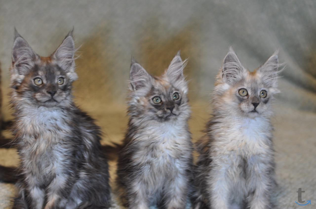 Мейн-кун котята, с документами п...
