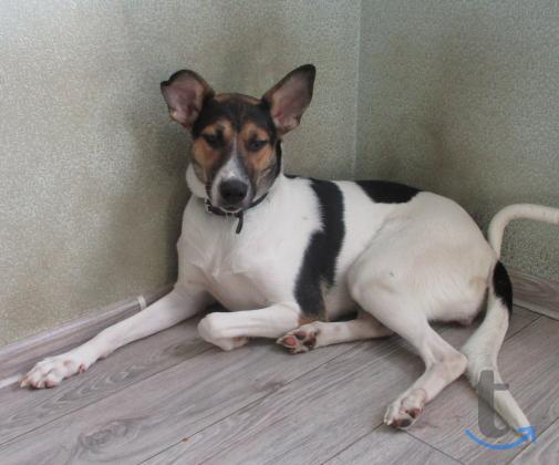 Собака породы Парсон-Рассел-терьер