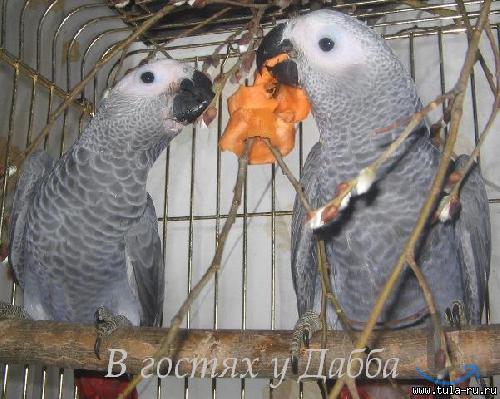 Жако птенцы выкормыши говорящие ...