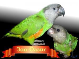 Сенегальский попугай в городе Москва