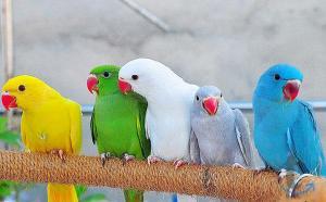 Ожереловые попугаи в городеМосква